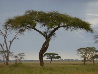 Acacia in the Serengeti