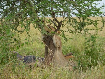 Tree hugger in the Serengeti