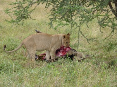 Lion eating wilderbeast in the Serengeti
