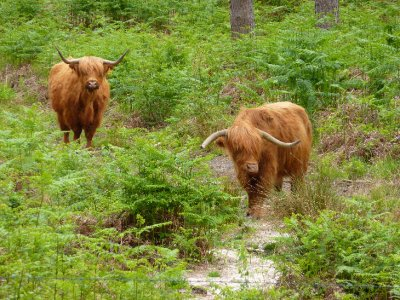 Highland cattle at Wildbrooks, Southern England