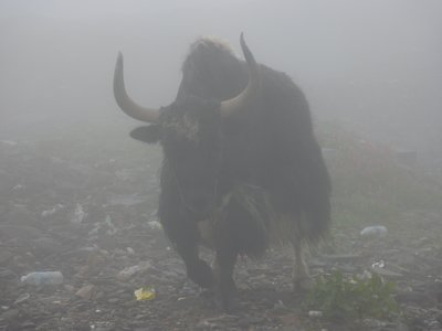 Yak at Rotang Lah, Himachal Pradesh, India