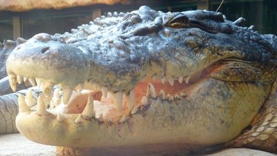 Big croc, Wildlife World, Sydney, Australia