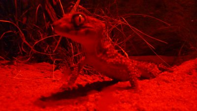 Centralian Know Tailed Gecko, Wildlife World, Sydney, Australia