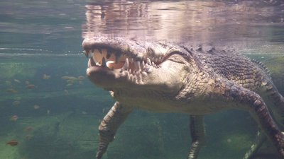 Big croc underwater, Wildlife World, Sydney, Australia