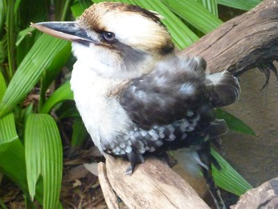 Laughing Kookaburra, Wildlife World, Sydney, Australia