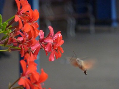 Piran hummingbird
