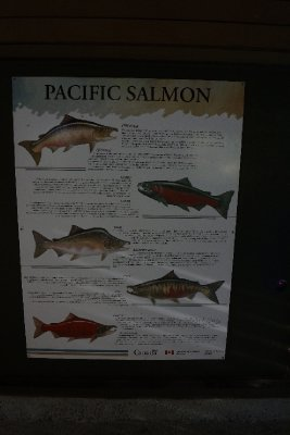 Salmon types in the Pacific.