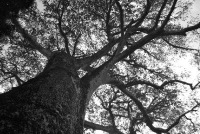 Baobab overlooks Gede ruins