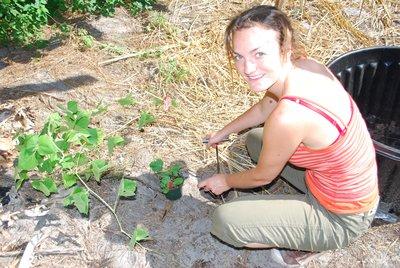 Planting agussi melon