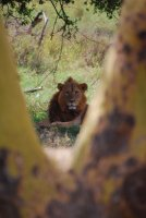 Looking at you, looking at me. The King of the Beasts