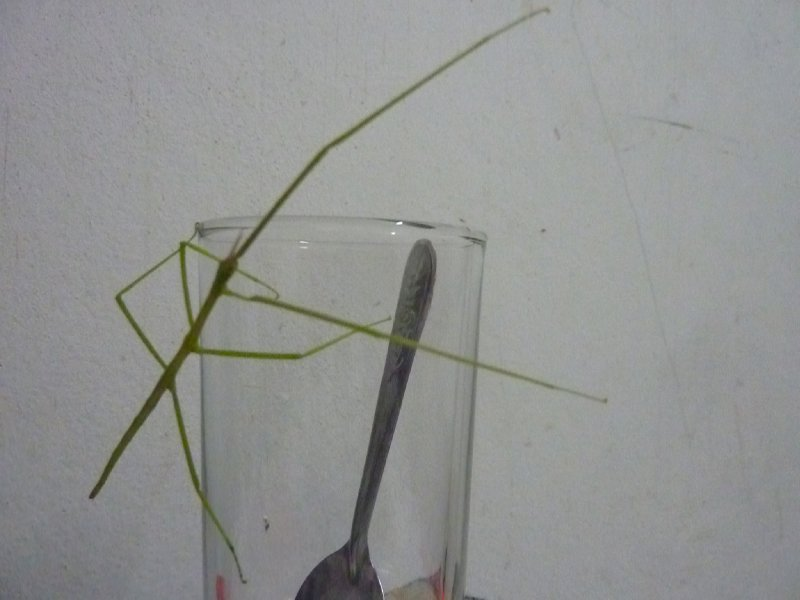 The spindly stick green insect which appeared from nowhere and too an interest in my glass