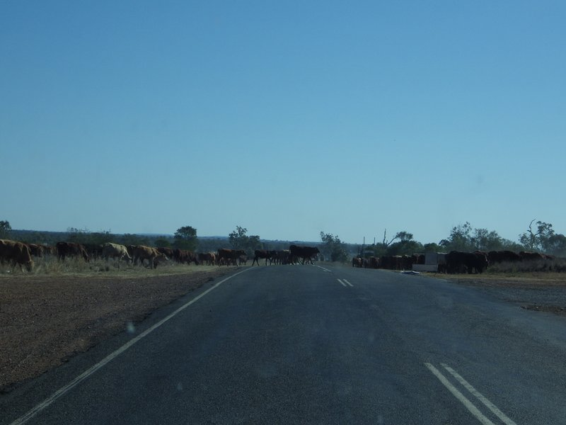 Cattle on the side of the road
