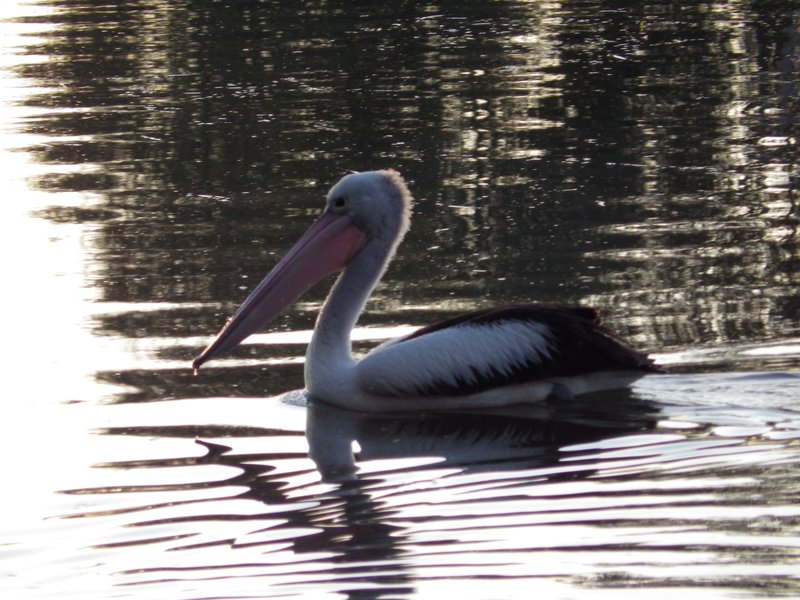 Pelican on the water at Neil Turner Weir, Mitchell