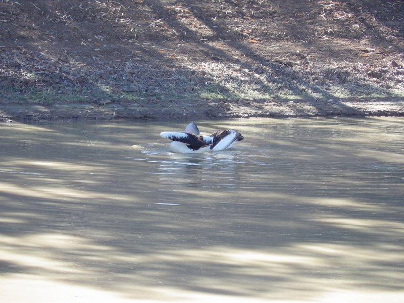 Pelicans on Coopers Creek