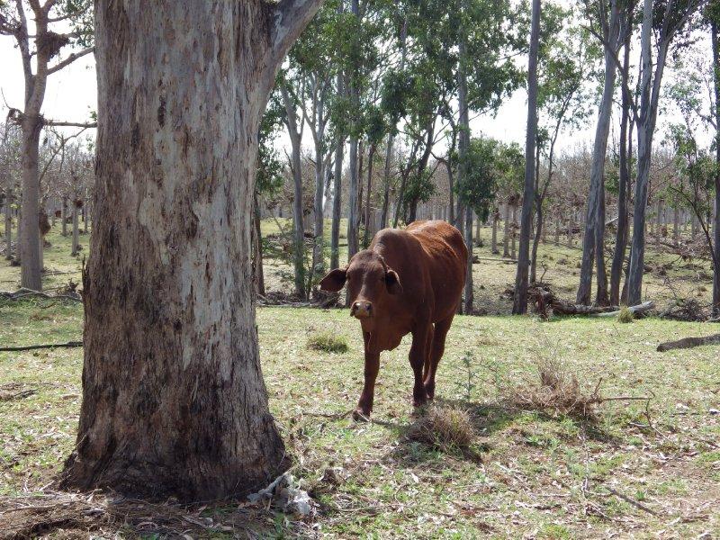 2013 Sep 13 Cow at Ceratodus 1