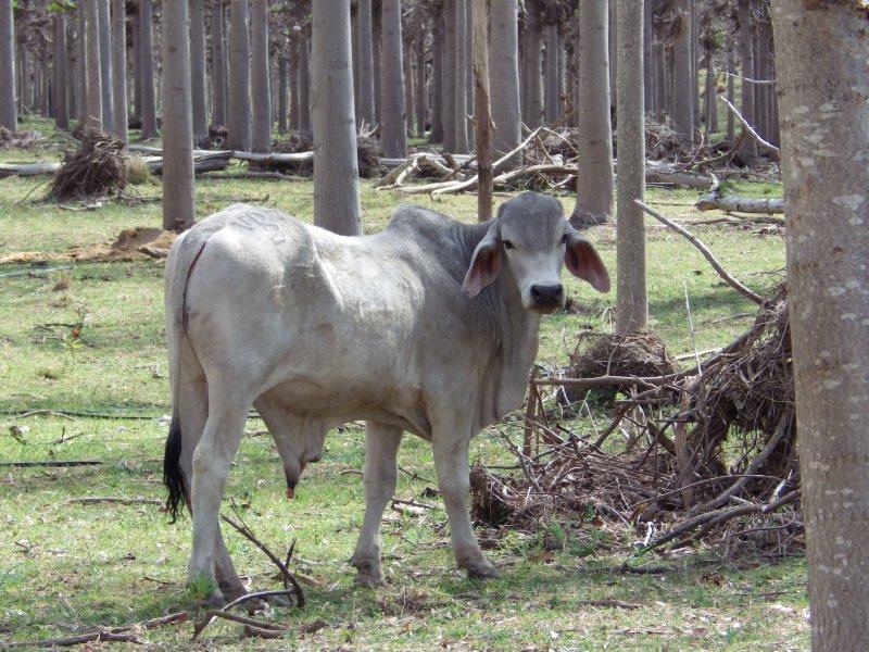 2013 Sep 13 Cow at Ceratodus 3