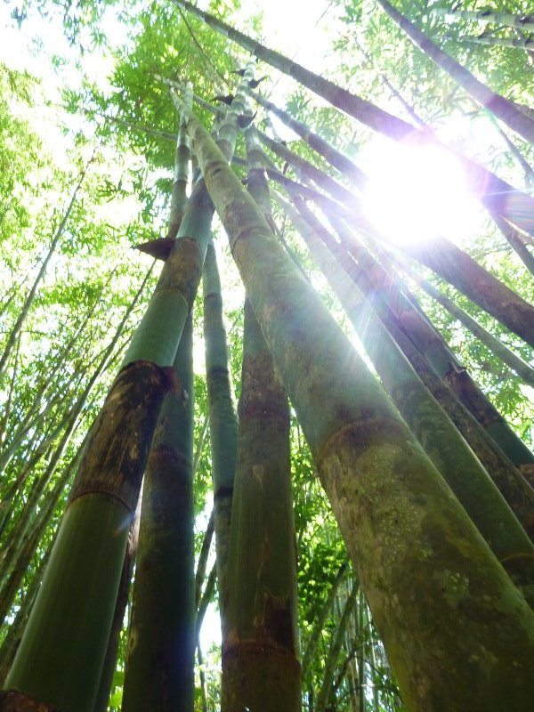 Khao Sok Bamboo in Jungle