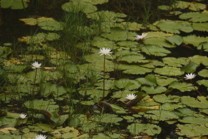 large_27_0_White_Lotus_on_way.jpg
