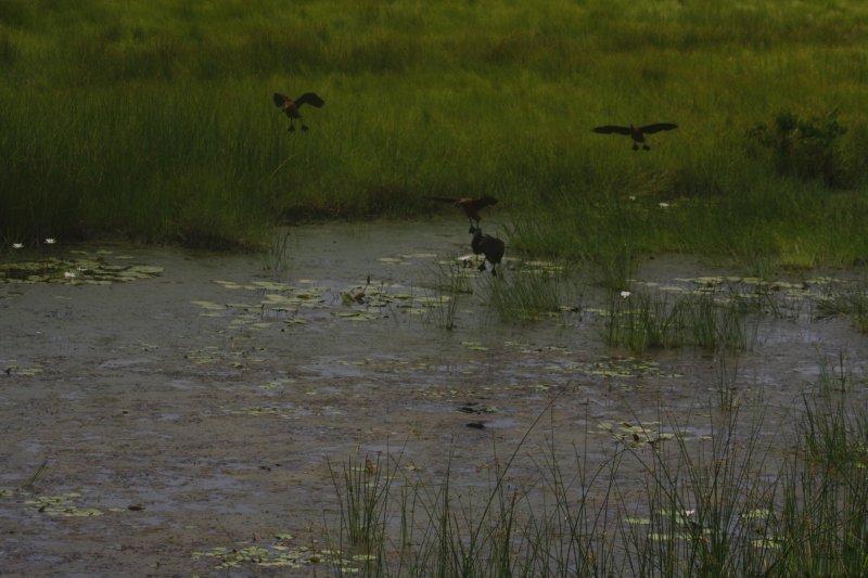 large_27_1_Flock_of_wild_ducks.jpg