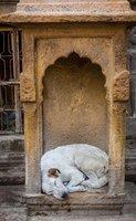 Sleeping dog Jaisalmer