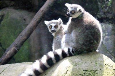 IMG_2953_-_Lemurs.jpg