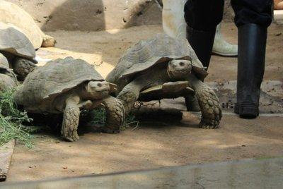 IMG_2968_-_Tortoises.jpg