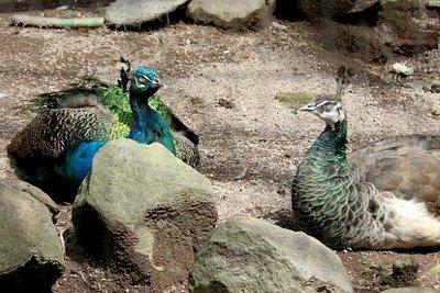 IMG_3142_-_Peacocks.jpg