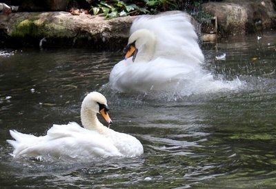 IMG_3179_-_Two_swans.jpg
