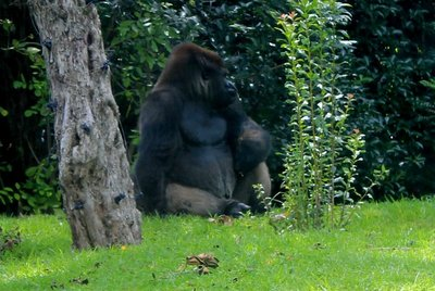 IMG_3270_-_Gorilla.jpg