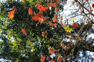 IMG_8192_-_Red_leaves.jpg