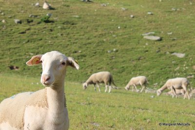 A curious sheep stops to watch me