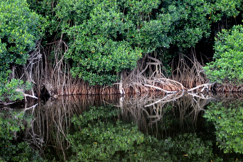 Aerial roots in mangrove in Mexico