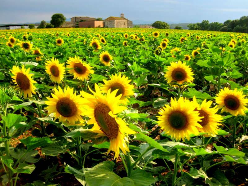 Sunflower field at Navata