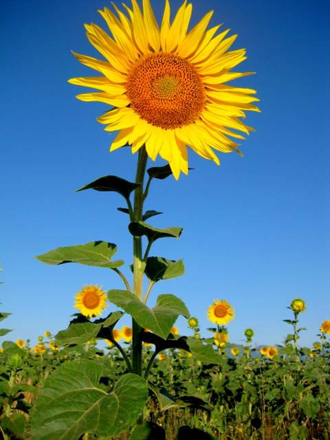 Beaming sunflower