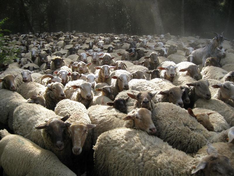 large_May_09_-_Sheep_005.jpg