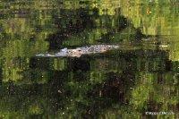 Crocodile in lagoon