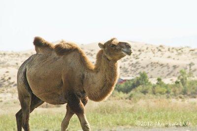 Camel_3resized.jpg
