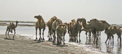 Camel_6resized.jpg
