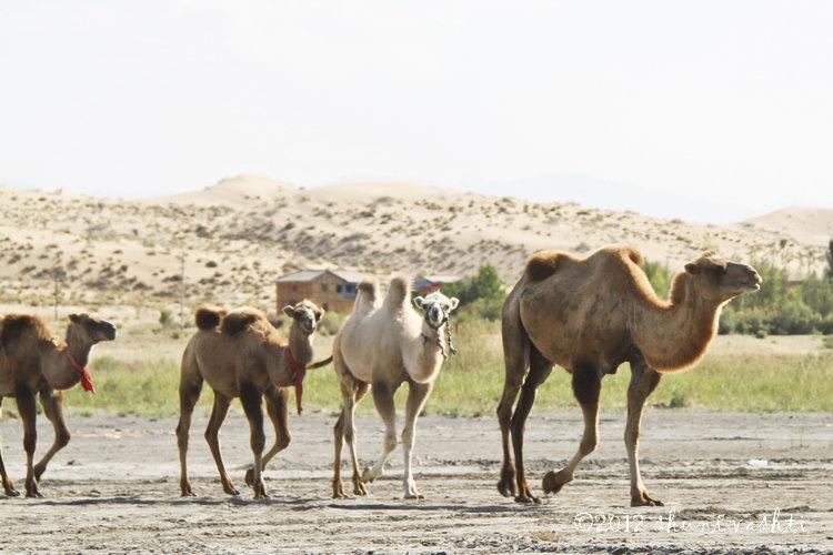 Bacrtrian Camels