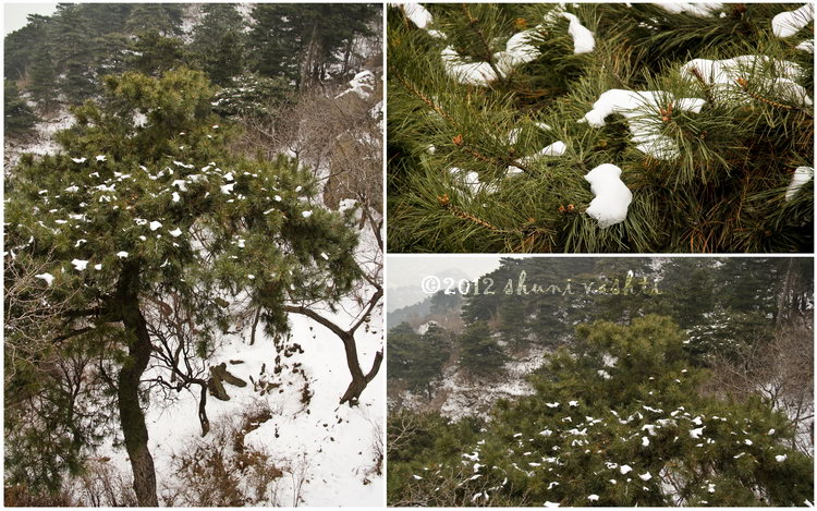 large_Pine_Snowresized.jpg