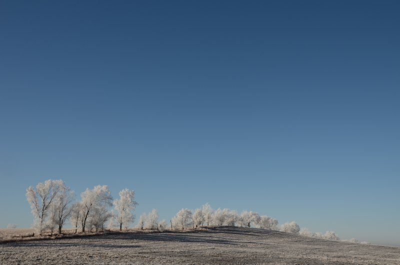 A Line of Cottonwoods