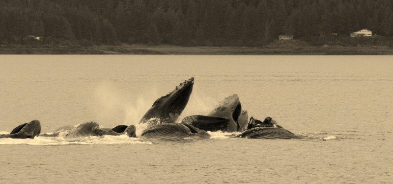 Successful Bubble Net Feeding by Humpbacks