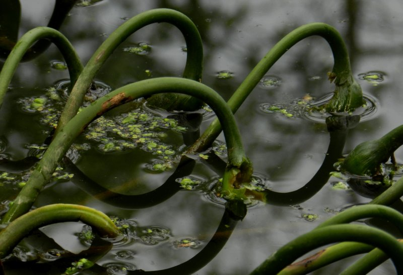 Wetland Plant Detail