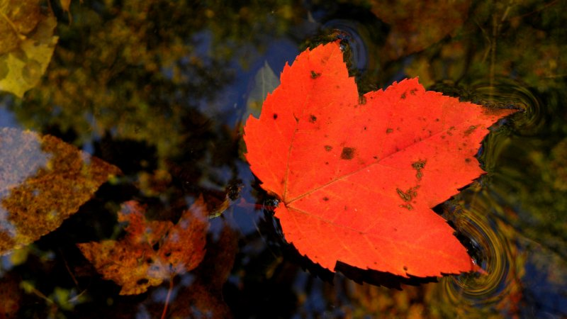 Maple Leaf and fall reflections