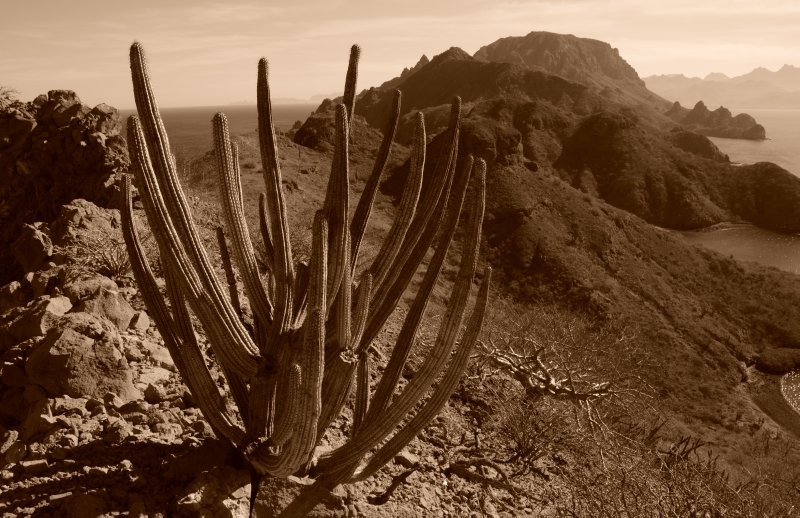 Organ Pipe Cactus on Danzante