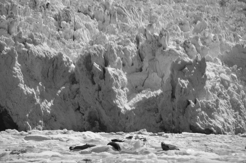 Harbor Seals and South Sawyer Glacier