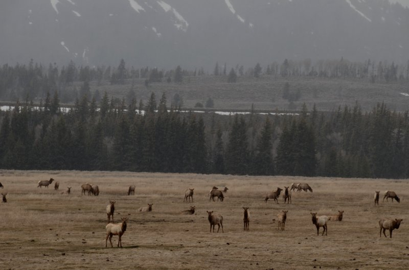Elk In Winter Pastures