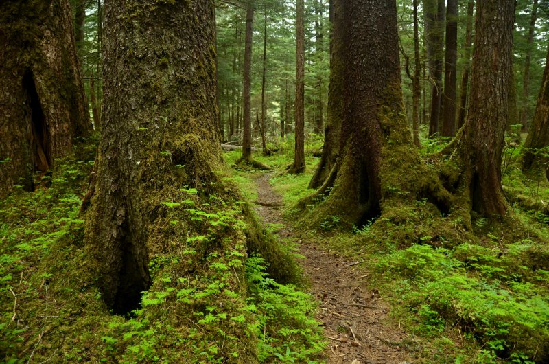 The Trail Through the Spruce