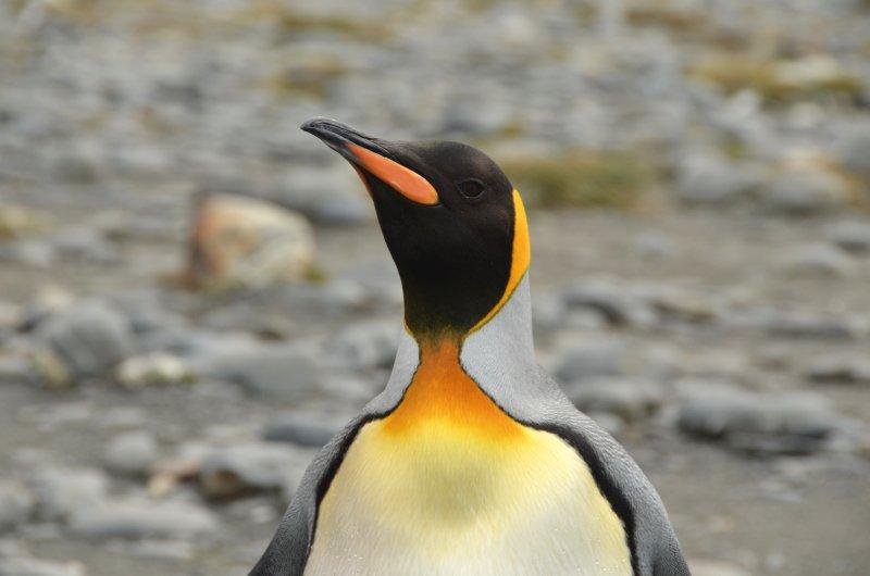 King Penguin Detail