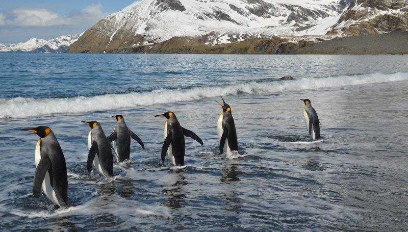 Penguins In Water